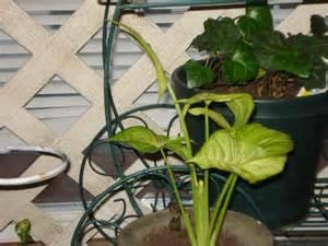 Foliage House Plant Identification - i love identifying one of my house plants nimble mimosa