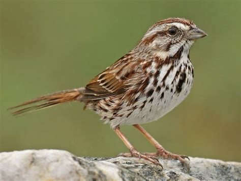 list of synonyms and antonyms of the word songsparrow