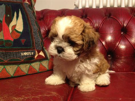 bichon frise puppies for sale in pa fluffy chihuahua