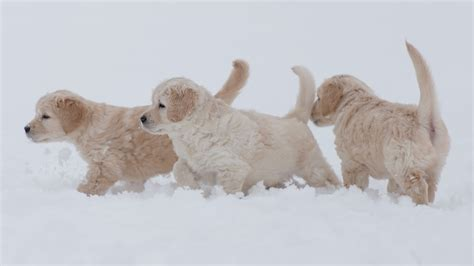 puppies in snow puppies in snow with winter golden retriever
