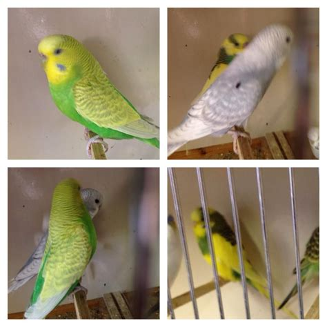 various birds for sale manchester greater manchester