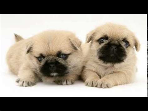 of pug puppies pictures of pug zu puppies pictures best pictures of pug