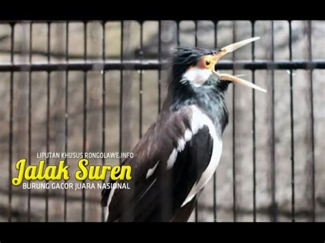download mp3 gratis kicau jalak kebo download suara burung jalak suren gacor ngamuk juara
