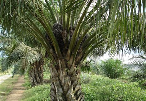 gambaran gambar pohon kelapa sawit