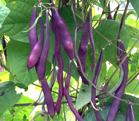 deans purple pole snap bean   southern exposure