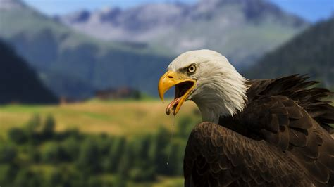Wallpaper 4k Eagle   beautiful bald eagle 4k wallpaper hd wallpapers hd
