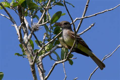 wild florida wilybird
