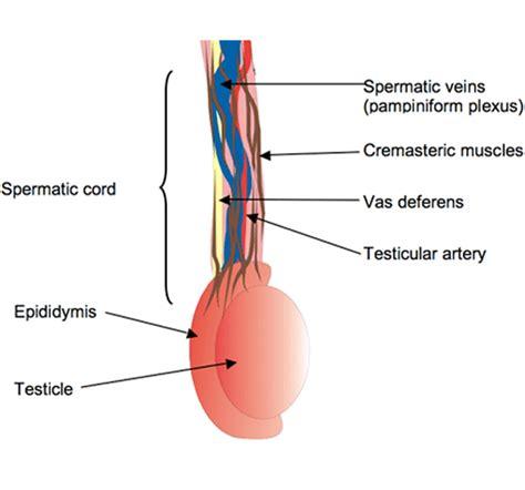 gonfiore interno coscia orchitis genito urinary diseases epharmapedia