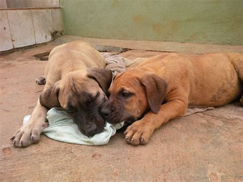 pure breed boerboel puppies for giveaway sales pets nigeria - Puppies For Giveaway