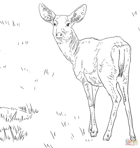coloring pages of mule deer female mule deer coloring page free printable coloring pages