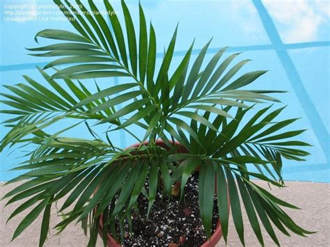 cateracterum palm plantfiles pictures cat palm cascade palm cataract palm