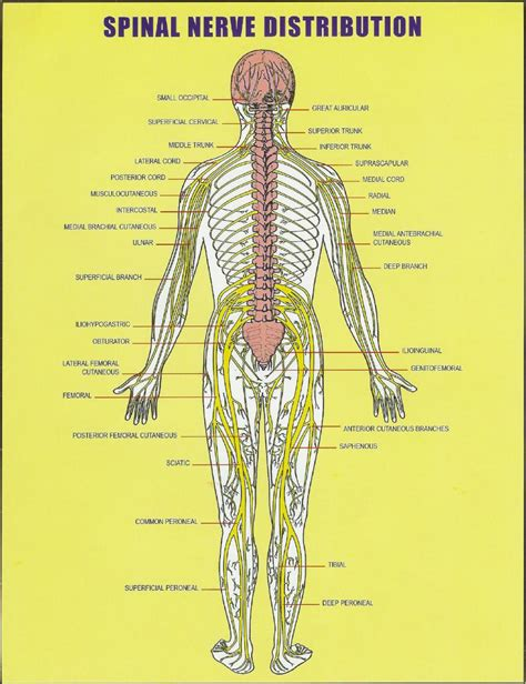 diagram of spine and nerves my mess ms misaligned atlas and vagus nerve