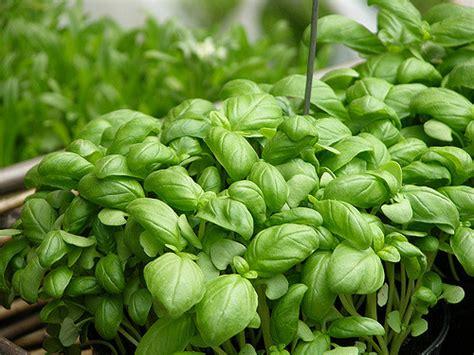 giardino erbe aromatiche creare un angolo di erbe aromatiche in giardino