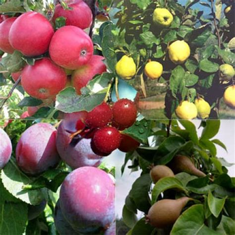 fruit tree mix 5 fruit trees nationwide delivery - 5 Fruit Tree