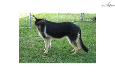 german shepherd puppies omaha german shepherd wolf for sale breeds picture