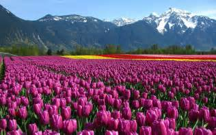 tulip feilds wallpaper tulips field mountain netherlands flowers