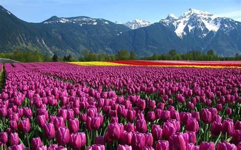 tulip fields wallpaper tulips field mountain netherlands flowers