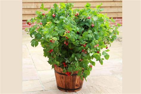 himbeeren pflanzen balkon topf himbeere zwerg himbeere ruby 174 rubus