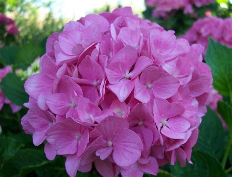 imagenes flores hortensias im 225 genes de flores y plantas hortensias
