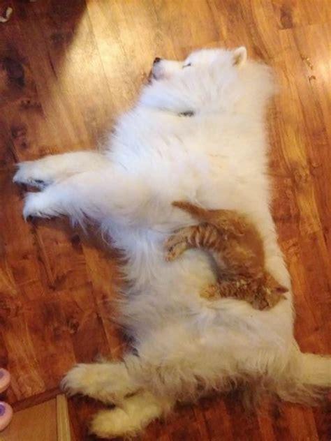 des chats qui se servent de chiens comme oreillers