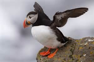 vianka into stories differences between puffin and penguins