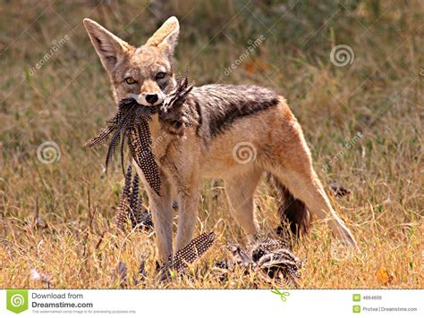 african jackal royalty  stock images image