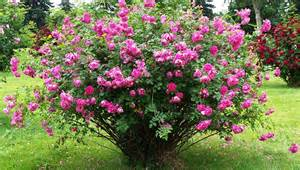 mountain gardening try these hardy roses in your garden