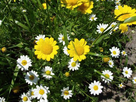 fiori camomilla fotografie di fiori di camomilla