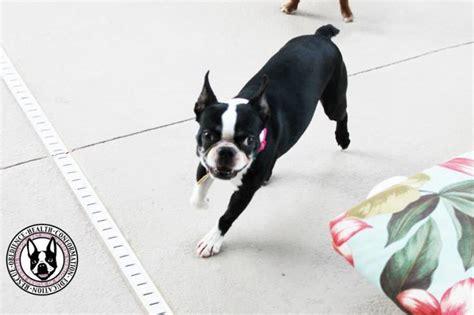 adopt dallas boston terrier rescue dallas dogs in our photo