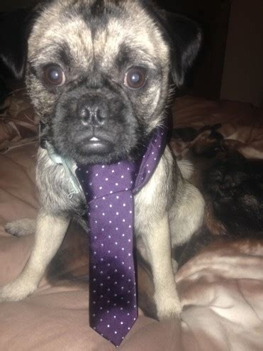 pug wanted pug wanted for companionship blackburn lancashire pets4homes