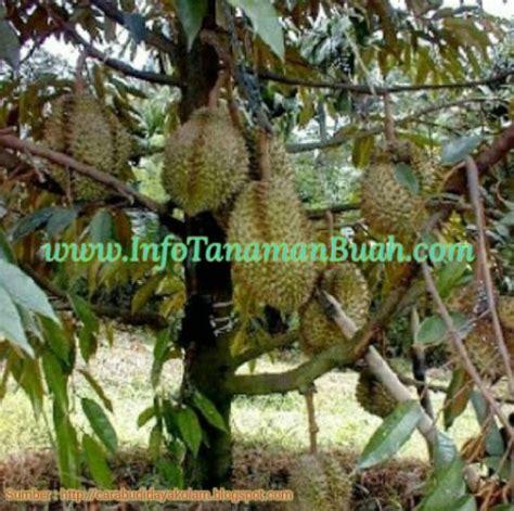 Bibit Mangga Alpukat Jogja beberapa jenis tanaman buah durian unggulan info tanaman