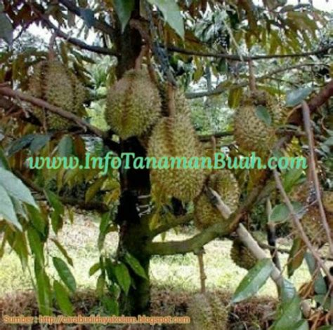 Bibit Tin Jepara beberapa jenis tanaman buah durian unggulan info tanaman