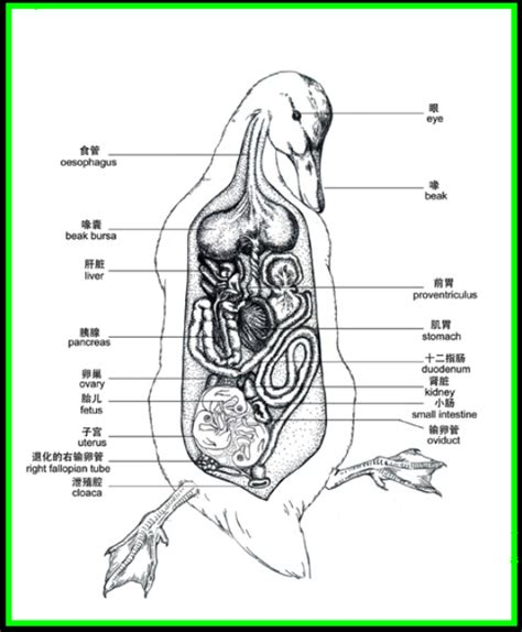 duck diagram duck anatomy search with anatomy and other