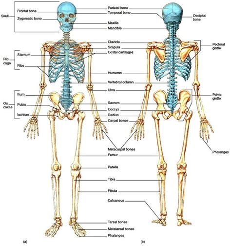 best 25 human skeleton bones ideas only on skeleton anatomy labelled pictures 206 bone labeling human anatomy chart