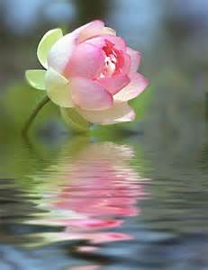 Lotus Flower On Water Lotus Belog Makcik