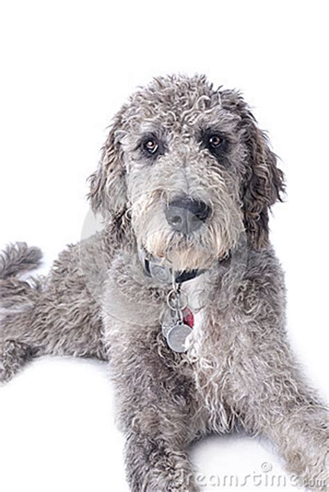 doodle dane puppy danoodle great dane and standard poodle mix and
