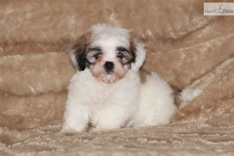 havanese puppies for sale in dallas havanese puppy for sale near dallas fort worth 893fed1b aeb1