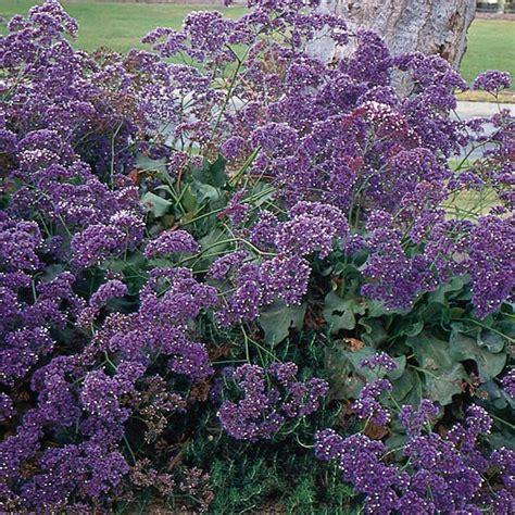 statice sea lavender limonium perezii my garden life
