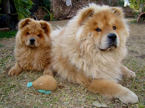 chow pictures chow chow races de chiens animaux