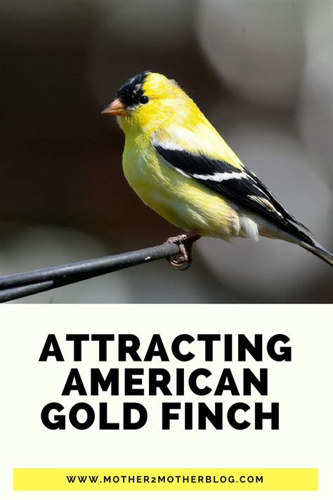 attracting backyard birds american gold finch attracting backyard birds