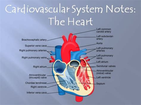 Cardiovascular System Notes The Heart Powerpoint Circulatory System Powerpoint