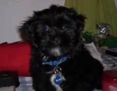 silky terrier shih tzu mix silky tzu shih tzu x silky terrier mix info temperament puppies pictures