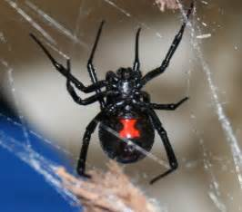 are barn spiders venomous illinois poison center 187 archive 187 the do s and