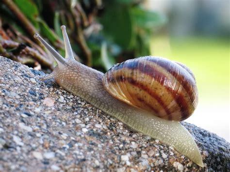 types of garden snails