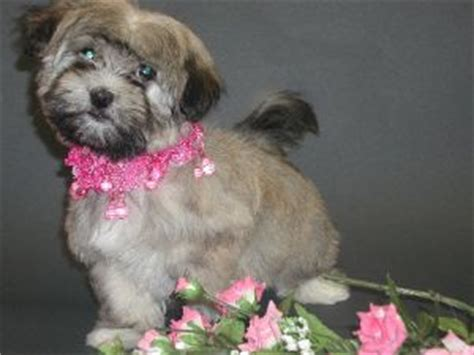 havaneses puppies havanese puppies for sale