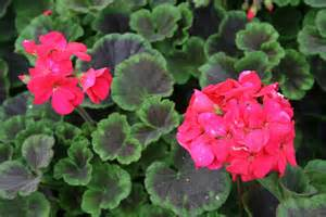 the gardens of edom geraniums the old lady flower