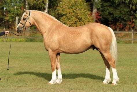 welsh section c height palomino welsh cob section d stallion jebeth
