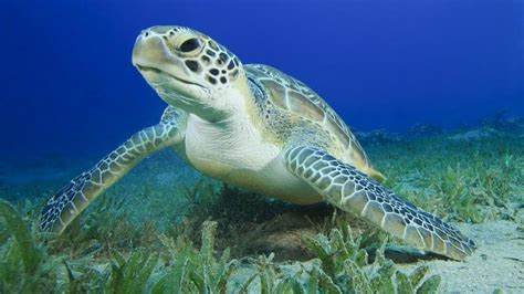 images of turtles green sea turtle facts and pictures reptile fact