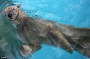 what color is polar hair gps trackers reveal polar bears can swim non stop for up