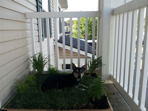 Dog Grass For Balcony by Homemade Grass Box For People With Dogs In Apartments With